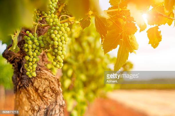 green grapes - white grape stock photos and pictures