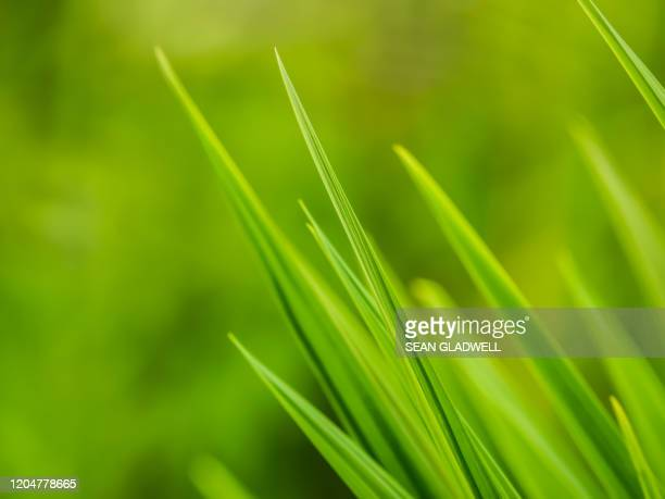 green grass blades - blade of grass stock pictures, royalty-free photos & images