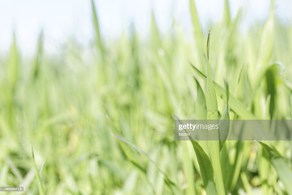 Green grass close up : Stock Photo