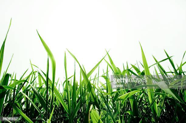 green grass isolated - blade of grass stock pictures, royalty-free photos & images