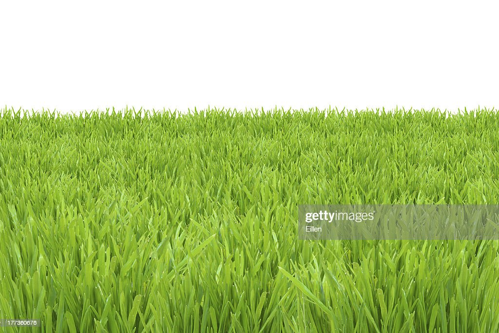 tall green grass field. Green Grass Lawn Isolated On White Background Tall Field S