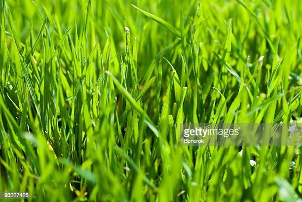 erba verde - filo d'erba foto e immagini stock