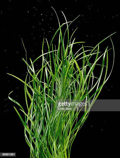 Green Grass Reeds on Black