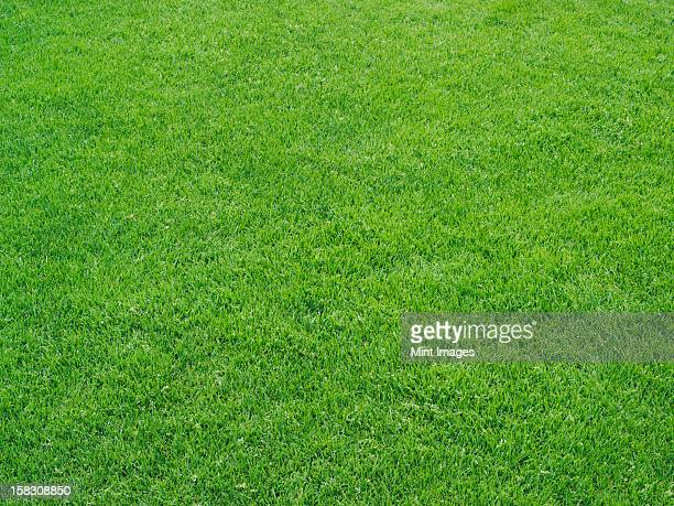 Green grass surface on an athletics sports field