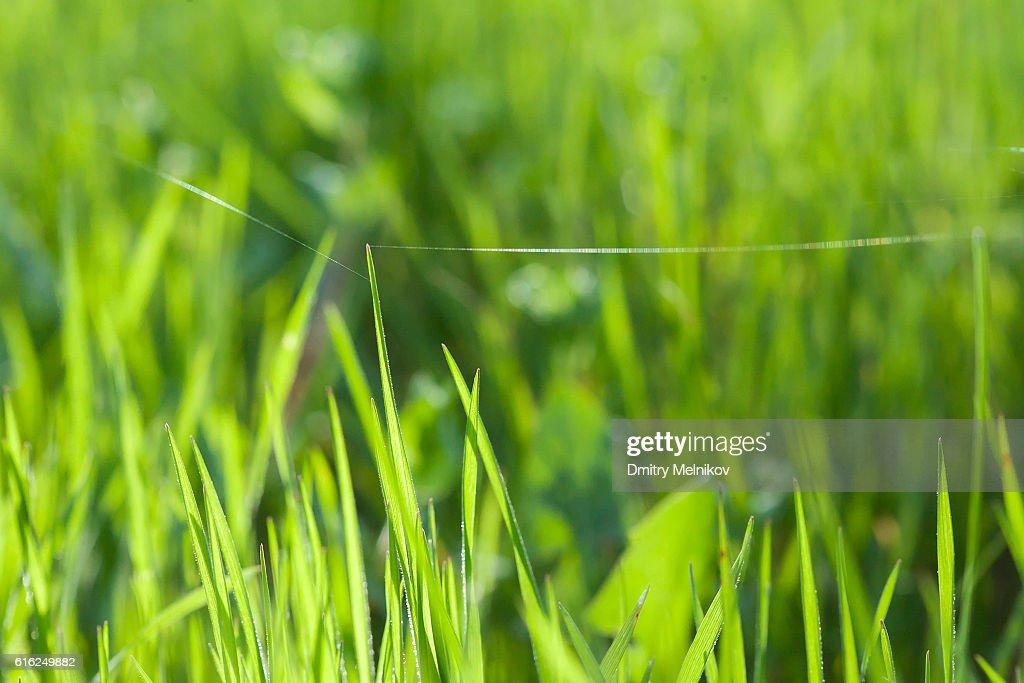 green grass through sun beams. : Foto de stock