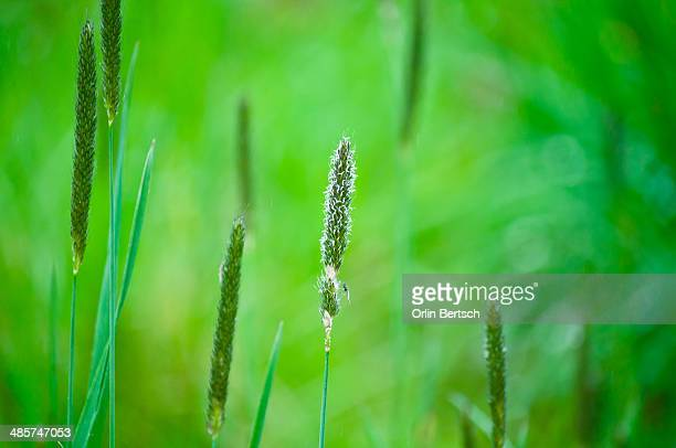 Green grasses stalks