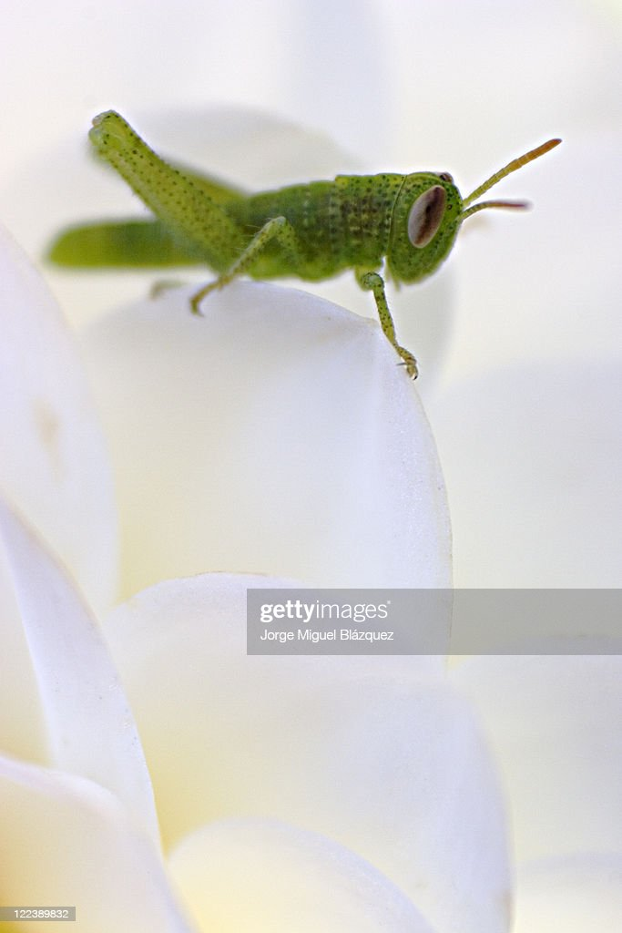 Green grasshopper : Stockfoto