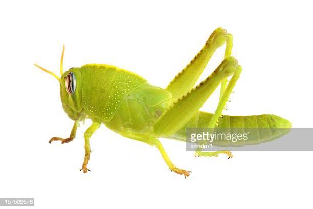 green grasshopper (xxxl) - grasshopper stock pictures, royalty-free photos & images