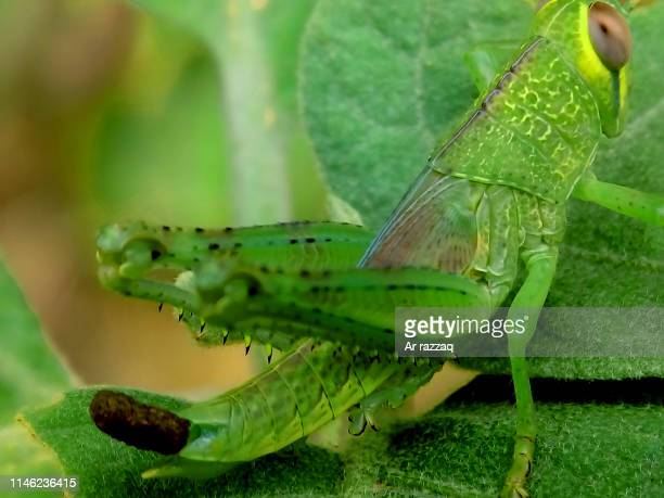 green grasshoppers on leaves - animal limb stock photos and pictures