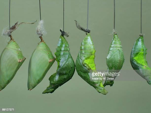 Green Hanging Pupa