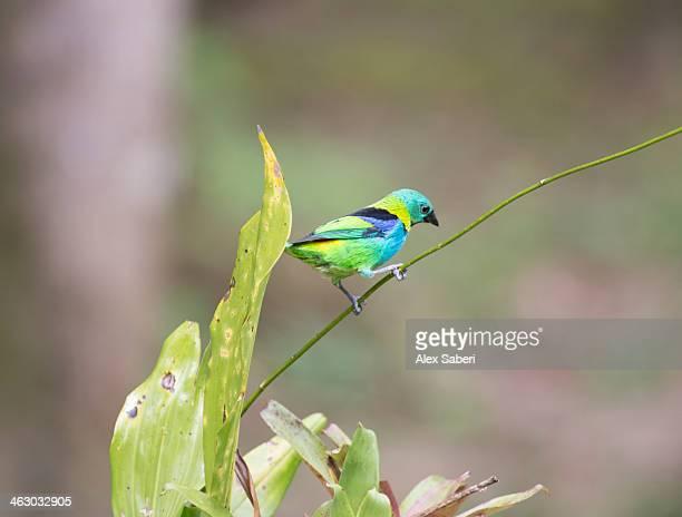 a green headed tanager on a branch. - alex saberi imagens e fotografias de stock