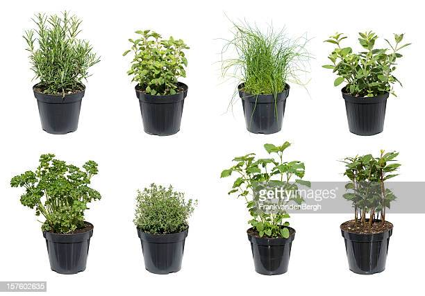 green herbs isolated on white - pot plant stock pictures, royalty-free photos & images