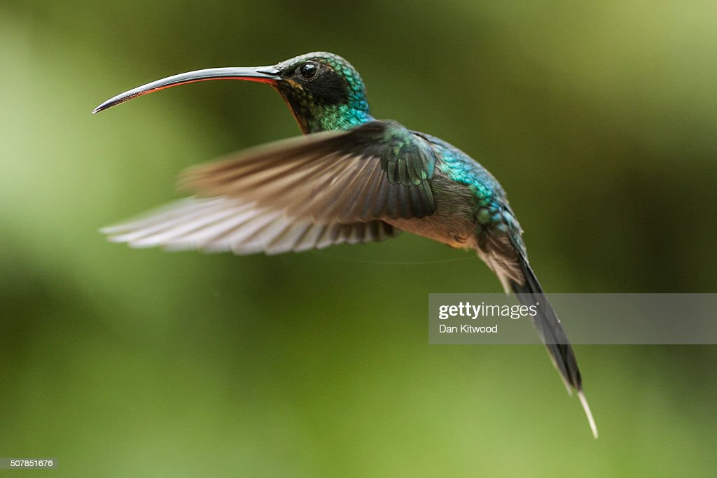 A Green Hermit is pictured at a Hummingbird feeding station on January 15, 2016 in Alajuela, Costa Rica. Of the 338 known species of Hummingbird worldwide there are around 50 in Costa Rica. Hummingbirds are named for the distinctive sound made by their tiny beating wings, and are admired for their vibrantly coloured iridescent plumage. Their ability to hover, with wings beating between 12 and 90 times a second, and to fly backwards makes them different from all other birds. They are some of the smallest birds in the world and have the highest metabolic rate of any bird with a heart rate that can exceed 1,200 beats a minute. They can hear and see better than humans, but have a poor sense of smell. Hummingbirds eat at least half their body weight in food every day, darting between flowers to lap up nectar. They are generally solitary, very territorial and can be incredibly aggressive towards other birds. At night they go into a state of torpor to help conserve energy, and occasionally can be found sleeping upside down like bats on branches.