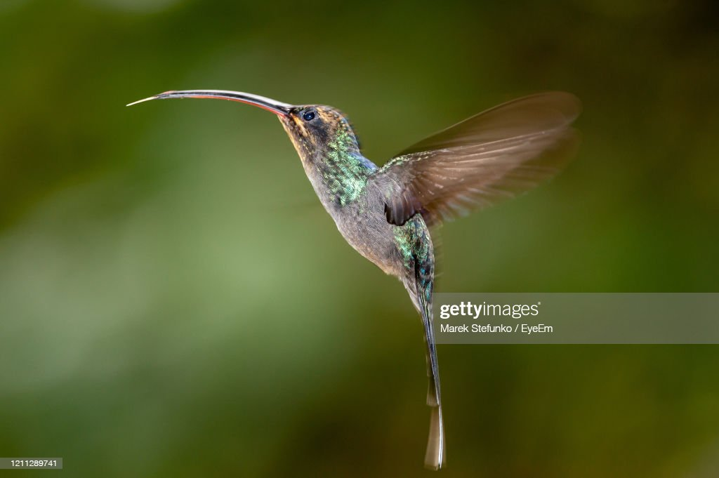 Green Hermit - Phaethornis Guy Hummingbird In Flight : Stock Photo