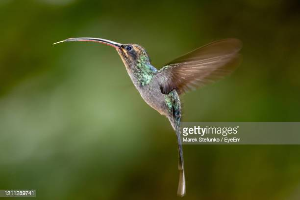 green hermit - phaethornis guy hummingbird in flight - marek stefunko stock pictures, royalty-free photos & images