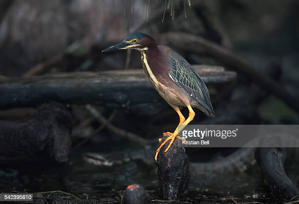 green heron and cottonmouth snake - cottonmouth snake stock pictures, royalty-free photos & images