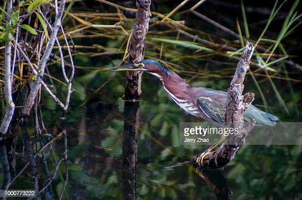 green heron at the anhinga trail - anhinga_trail stock pictures, royalty-free photos & images