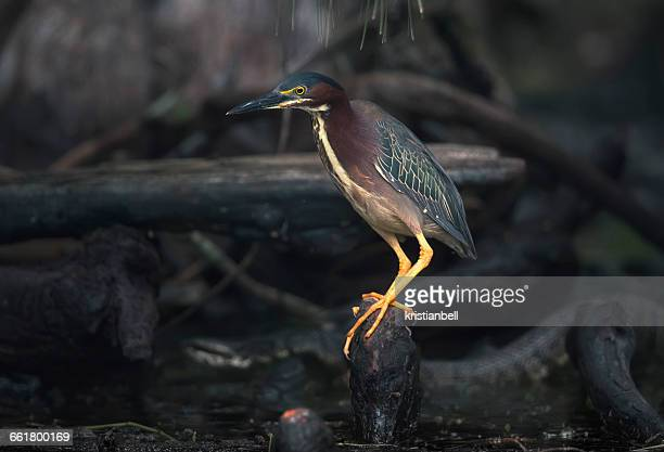 green heron bird with cottonmouth snake close by, florida, america, usa - cottonmouth snake stock pictures, royalty-free photos & images