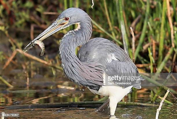 A green heron catches a fish during a practice round prior to The Honda Classic at PGA National Resort Spa Champions Course on February 21 2017 in...