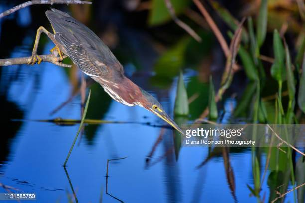 green heron getting ready to strike at a fish at babcock wildlife management area near punta gorda, florida - florida nature stock pictures, royalty-free photos & images