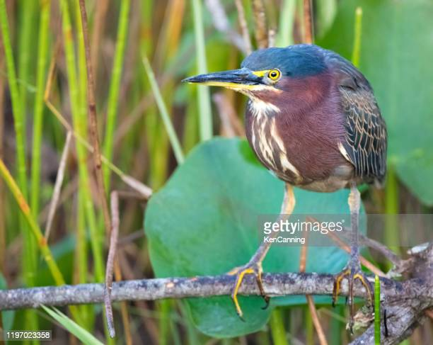 green heron in the flordia everglades - anhinga_trail stock pictures, royalty-free photos & images