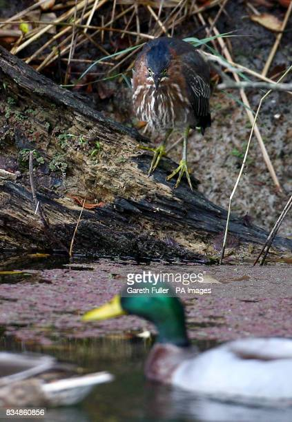 A Green Heron native to North and Central America watches a duck on the Royal Military Canal in West Hythe Kent