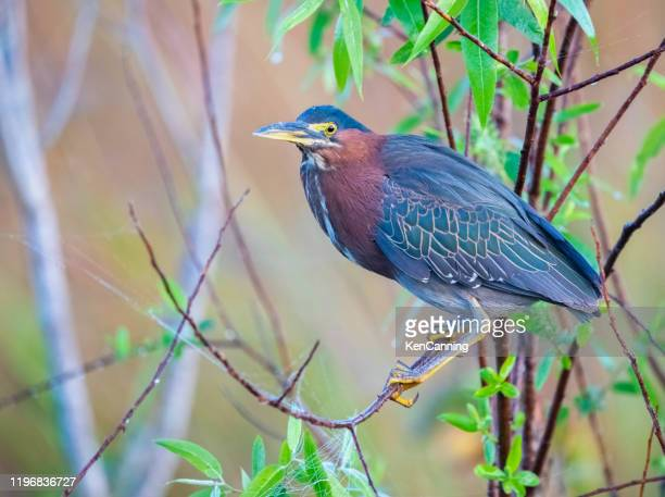 green heron perched in bushes beside a pond - anhinga_trail foto e immagini stock