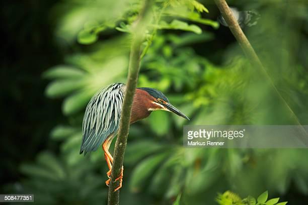 green heron perching on tree branch - nicaragua stockfoto's en -beelden