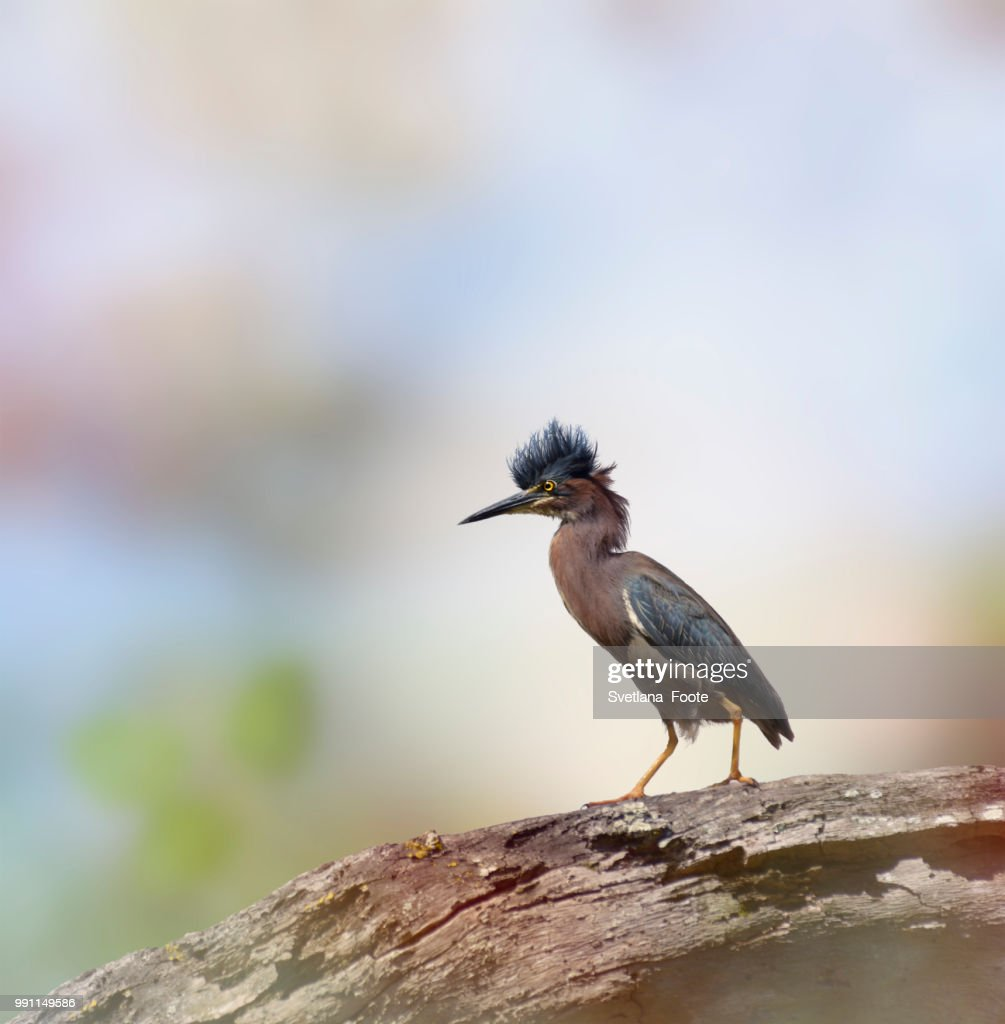 Green Heron : Stock Photo