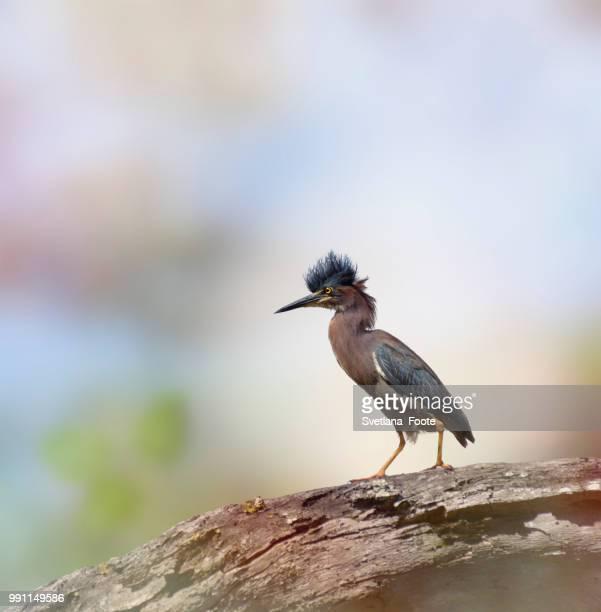 green heron - svetlana stock photos and pictures