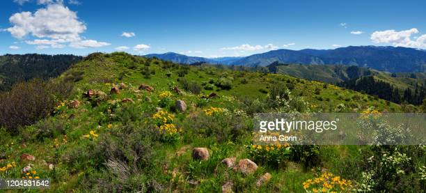 green hillside dotted with arrowleaf balsamroot flowers at bald mountain summit on station creek trail, partly cloudy summer afternoon, central idaho - anna creek station stockfoto's en -beelden