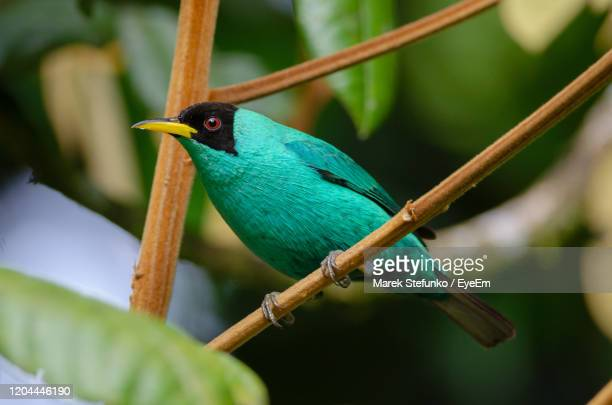 green honeycreeper - chlorophanes spiza in puerto viejo de sarapiqui - marek stefunko stock pictures, royalty-free photos & images