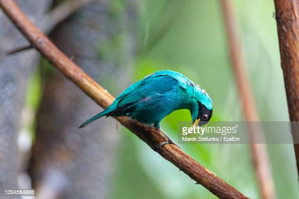 green honeycreeper - chlorophanes spiza male perching on a branch - marek stefunko stock pictures, royalty-free photos & images