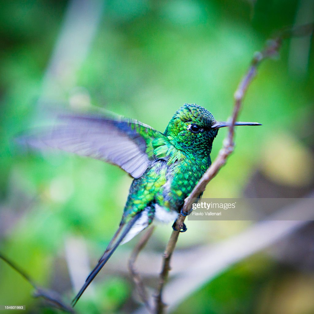 Green Hummingbird : Stock-Foto