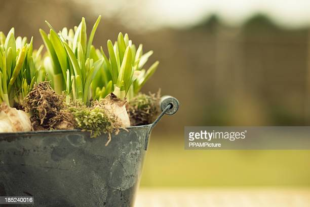 green hyacinth bulbs - flower pot stock pictures, royalty-free photos & images