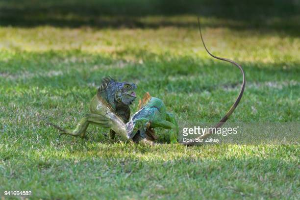 Green iguana (Iguana iguana) - a fight between males