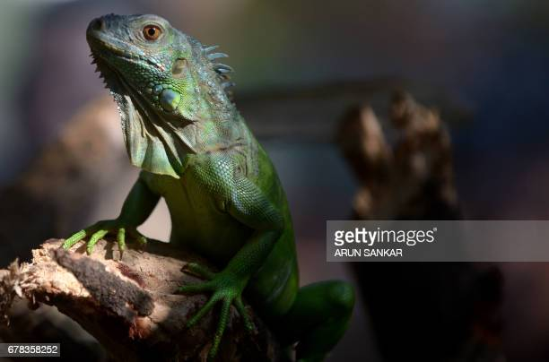A Green Iguana also known as an American Iguana looks on while on display at Guindy Snake Park in Chennai on May 4 after being purchased from a pet...