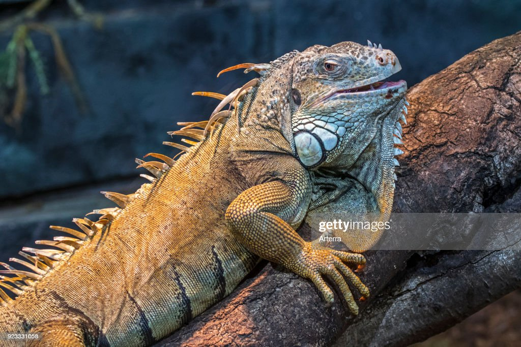 Green iguana - American iguana. : News Photo