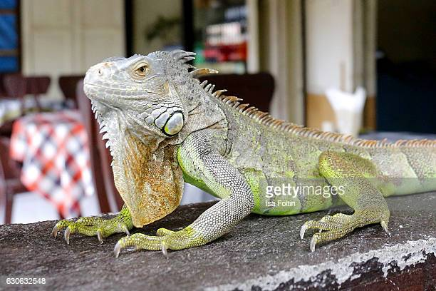 KARANGASEM BALI INDONESIA DECEMBER 23 A green iguana at the Taman Tirta Gangga Water Palace on December 23 2016 in Karangasem Bali Indonesia