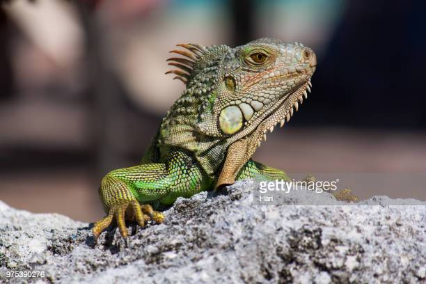 Green iguana (Iguana iguana) basking on rock, Key Largo, Florida, USA