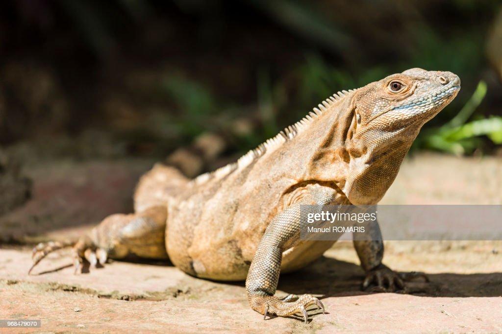 Green iguana, Carara National Park, Costa Rica : Stock Photo