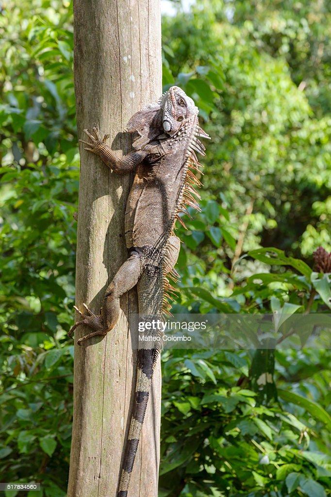 Green Iguana climbing a tree, Corcovado, Costa Rica : Stock Photo