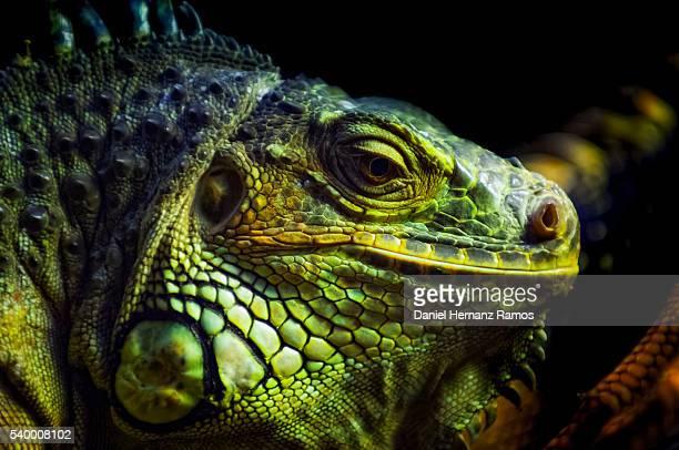 Green iguana. Common iguana. Iguana iguana