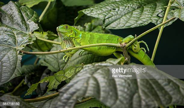 green iguana, costa rica - iguana stock photos and pictures