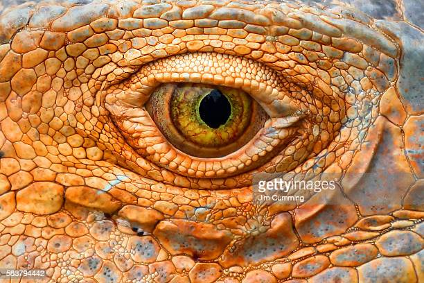 green iguana eye - reptile stock pictures, royalty-free photos & images