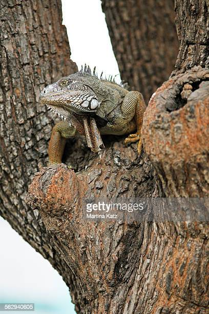 green iguana -iguana iguana-, adult, sitting on a tree, guayaquil, guayas province, ecuador - squamata stock photos and pictures