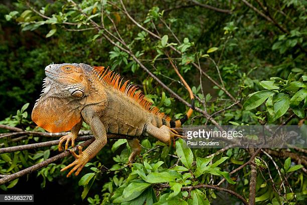 Green Iguana in a Tree in Costa Rica