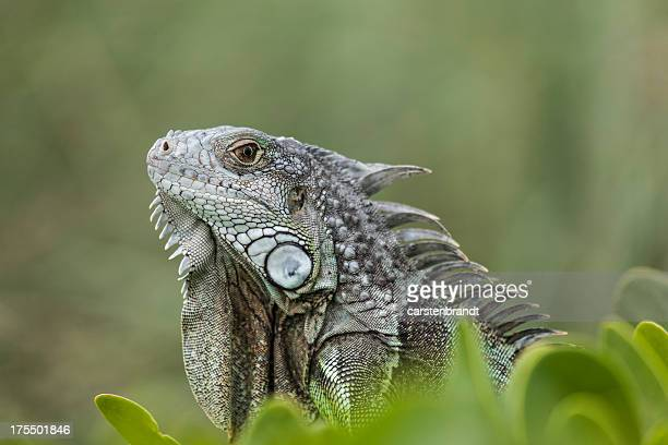 Green Iguana in Florida Keys