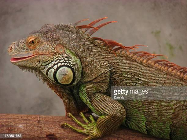 unique iguana isolated
