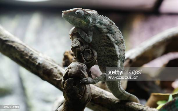 Green iguana is pictured at the Tropical Farm , a shop and online shop specialized in selling to individuals reptiles and insects, and products...